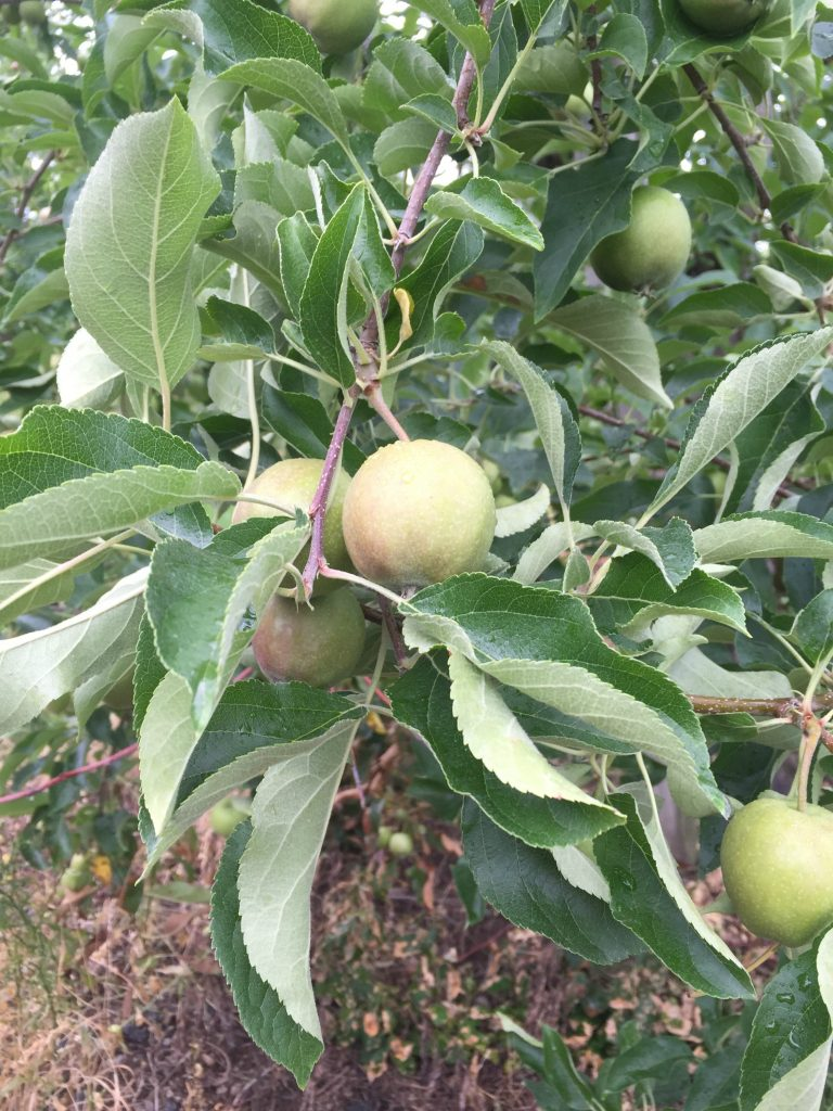 visiting-ochs-orchard-apple