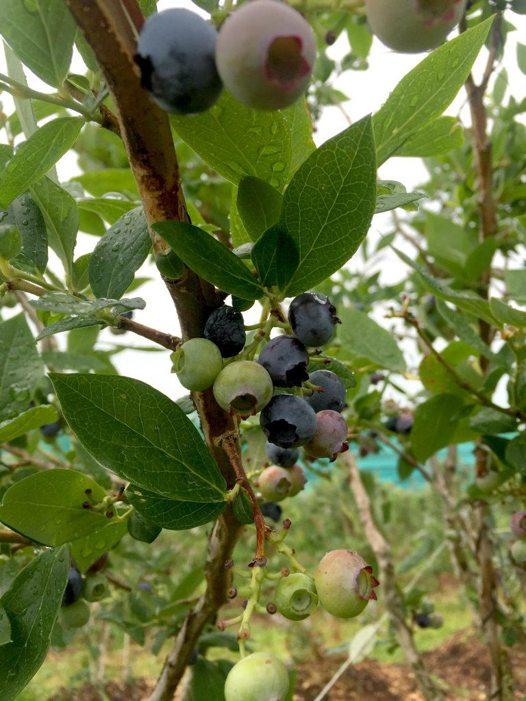visiting-ochs-orchard-blueberries