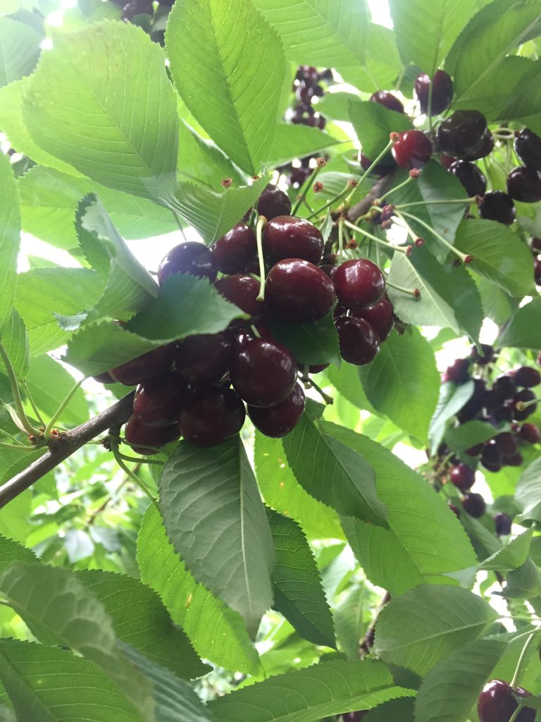visiting-ochs-orchard-cherry-tree