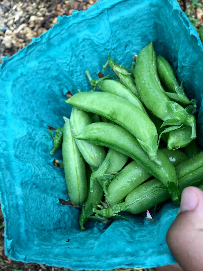visiting-ochs-orchard-peas
