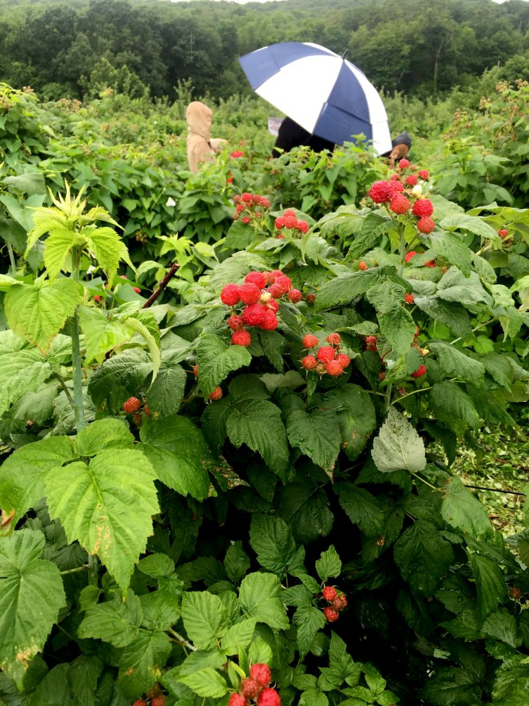 visiting-ochs-orchard-raspberries-field