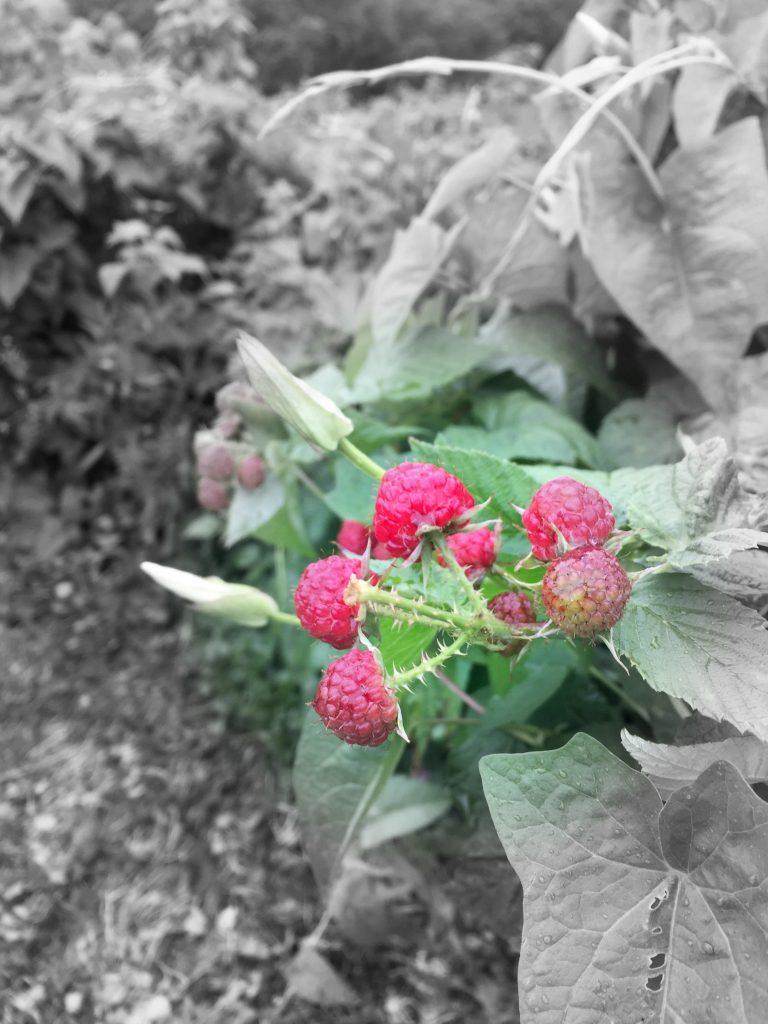visiting-ochs-otrchard-raspberry