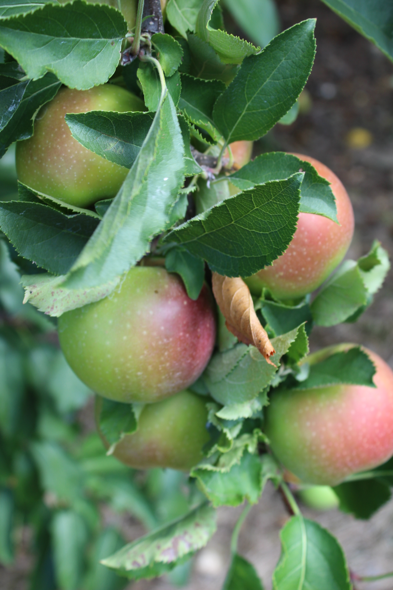 apple-season